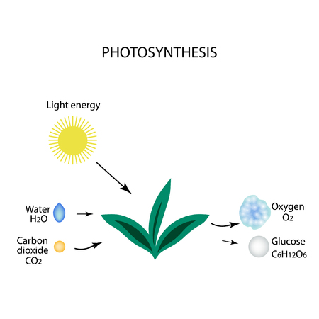 synthesis: Photosynthesis. The plant is in the sun. Water, carbon ha, oxygen, glucose Infographics. Vector illustration on isolated