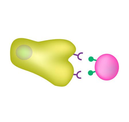 Innate immunity. Adaptive specific immunity. Phagocytosis. Infographics vector illustration