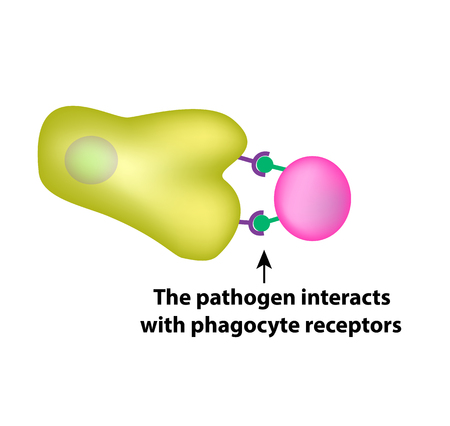 inmunidad: Innate immunity. Adaptive specific immunity. Phagocytosis. Infographics vector illustration
