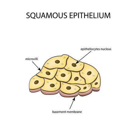 cilia: The structure of the squamous epithelium. Infographics Vector illustration on isolated background