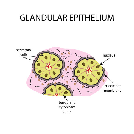 The structure of the glandular epithelium. Infographics Vector illustration on isolated background