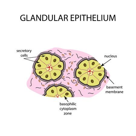 The structure of the glandular epithelium. Infographics Vector illustration on isolated background 版權商用圖片 - 71188823