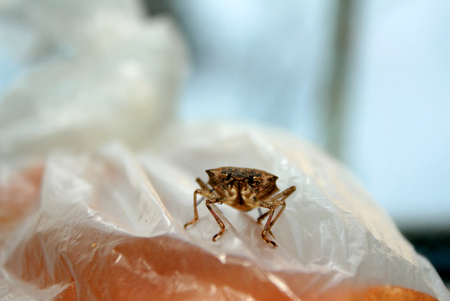Bug. Beetle. Insect.Sunn pest. Eurygaster integriceps Pest of cereal crops Stock Photo