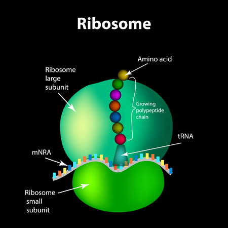 The structure of the ribosome Infographics. Vector illustration.