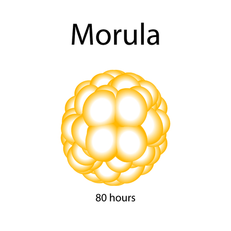 morula: Human morula. Vector illustration on isolated background.