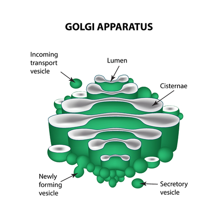 golgi apparatus: The structure of the Golgi apparatus. Infographics. Vector illustration on isolated background.