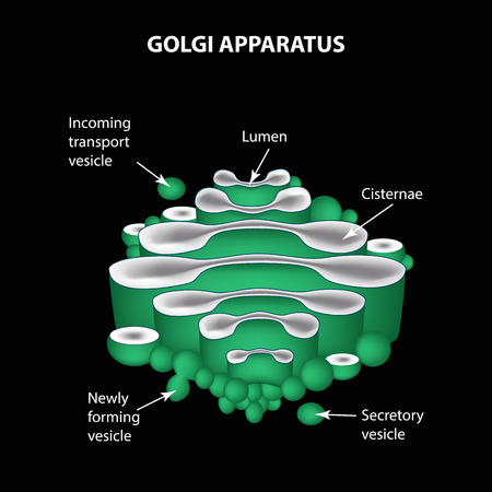 golgi apparatus: The structure of the Golgi apparatus. Infographics. Vector illustration. Illustration