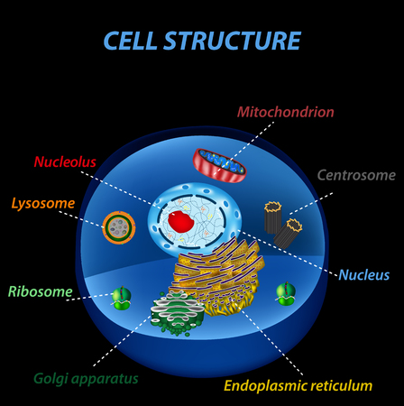 homeostasis: Structure of human cells. Organelles. The core nucleus, endoplasmic reticulum, Golgi apparatus, lysosomes, ribosomes, mitochondria, centriole Vector illustration on a black background