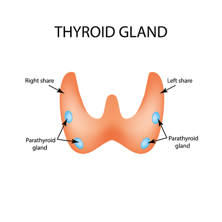 Anatomical structure of the thyroid and parathyroid gland. Infographics. Vector illustration on isolated background.