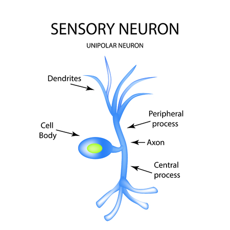 neurone: The structure of the sensory neuron. Infographics. Vector illustration on isolated background. Illustration
