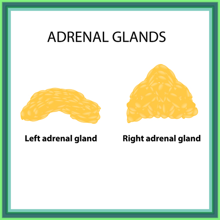 The left and right adrenal gland. Infographics. Vector illustration on isolated background. 向量圖像