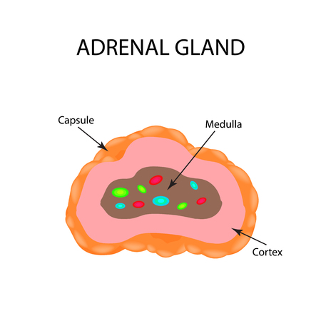 secrete: The anatomical structure of the adrenal gland. Vector illustration. Illustration