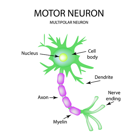 myelin sheath: The structure of the motor neuron. Infographics. Vector illustration on isolated background.