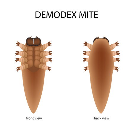 The structure of the demodex mite. Front view and rear view. Demodecosis. Infographics. Vector illustration on isolated background