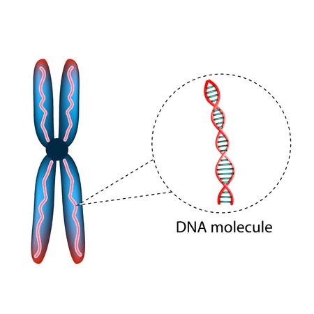染色体の構造。DNA の分子の構造。インフォ グラフィック。孤立した背景のベクトル図  イラスト・ベクター素材