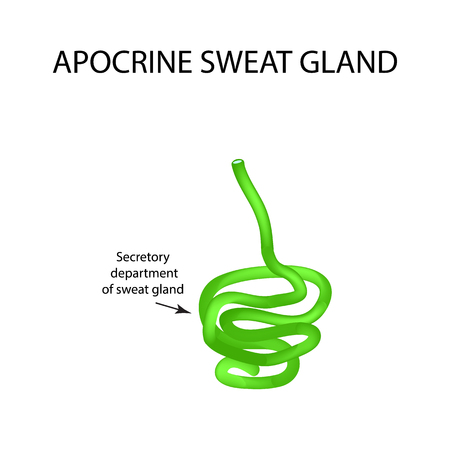 Structure Apocrine sweat gland. Infographics. Vector illustration on isolated background. Illustration