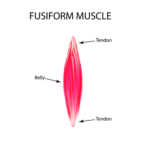 The structure of the muscle is fusiform. Infographics. Vector illustration on isolated background.