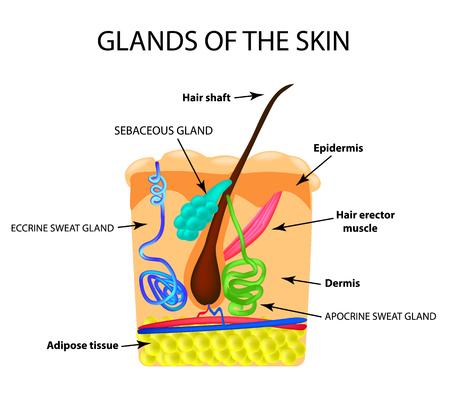 La estructura del cabello. Glándula sebácea. Glándula sudorípara. Infografía. Ilustración vectorial sobre fondo aislado.