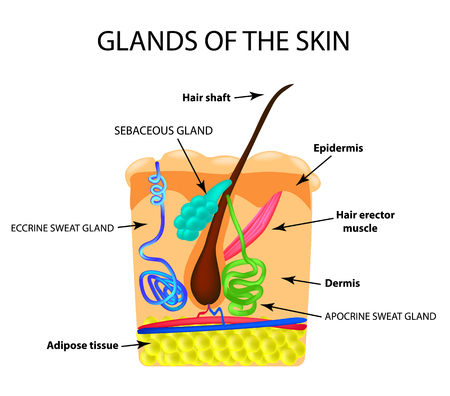 The structure of the hair. Sebaceous gland. Sweat gland. Infographics. Vector illustration on isolated background. Ilustração