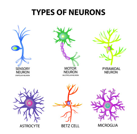 Rodzaje neuronów. Struktura czuciowa, neuron ruchowy, astrocyt, piromol, komórka Betz, mikroglej. Infographics ilustracja na odosobnionym tle