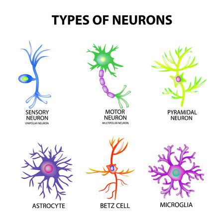 Tipos de neuronas. Estructura sensorial, neurona motora, astrocito, piromidal, célula Betz, microglia. Infografía ilustración sobre fondo aislado