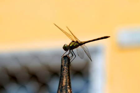 Dragonfly with large beautiful wings. Insect photo.