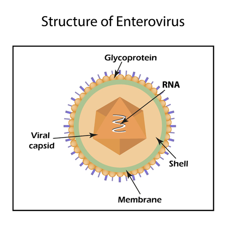 The structure of the enterovirus. Infographics. Vector illustration on isolated background.