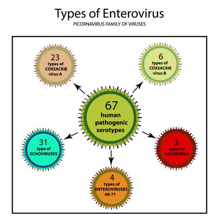 Types of enterovirus. Coxsackie virus A and B, poliomyelitis, echovirus, viruses of the family of picornaviruses, polio virus. Infographics. Vector illustration on isolated background.