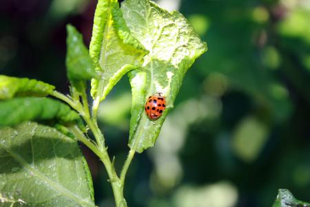 piojos: Hojas de cereza afectadas por áfidos. Plagas de insectos en la planta. Mariquita comiendo áfido. Foto de archivo