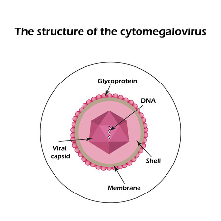The structure of the cytomegalovirus. Infographics. Vector