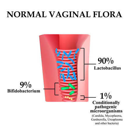 Normal microflora of the vagina. Normocenosis of the vagina. The ratio of lactobacilli, bifidobacteria and conditionally pathogenic bacteria. Infographics. Vector illustration on isolated background. Иллюстрация
