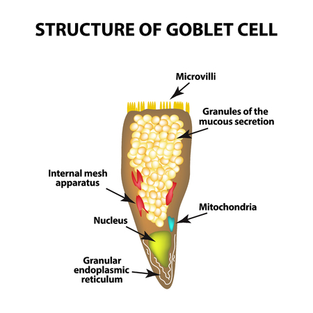 Structure Goblet cells of the intestine. Infographics. Vector illustration on isolated background.