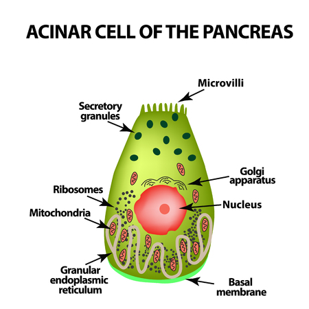 Acinar cell of the pancreas. Acinus. Infographics. Vector illustration on isolated background.