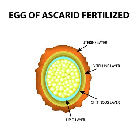 Het ei van de rondworm is bevrucht. Structuur van Ascaris-eieren. infographics. Vector illustratie op geïsoleerde achtergrond Stock Illustratie