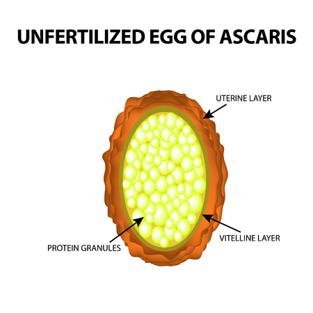 The egg of the roundworm unfertilized. Structure of Ascaris eggs. infographics. Vector illustration on isolated background Stock Vector - 99636475