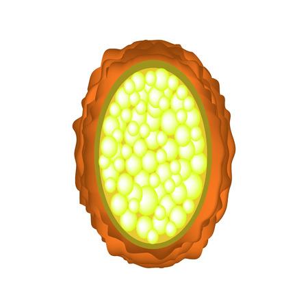 Het ei van de rondworm onbevrucht. Structuur van Ascaris-eieren. infographics. Vector illustratie op geïsoleerde achtergrond