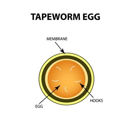 Tapeworm egg. Infographics. Vector illustration on isolated background Illustration