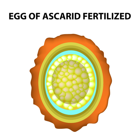 The egg of the roundworm is fertilized. Structure of Ascaris eggs. infographics. Vector illustration on isolated background Stock Vector - 99689195