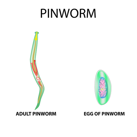 Pinworms Structure Of An Adult The Structure Of The Pinworm