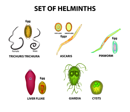 Set of helminths and their eggs. Worms. Hepatic fluke, hepatic trematode, ascaris, pinworm, lamblia, cyst of lamblia. Trichuris trichiura. Infographics. Vector illustration on isolated background Illustration