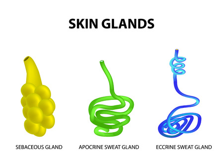 The structure of the glands of the skin. sebaceous, Eccrine sweat, Apocrine sweat. Set. Infographics. Vector illustration on isolated background.
