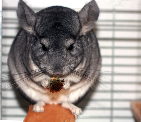 Gray fluffy chinchilla. A rodent eats a flower of echinacea. Banco de Imagens