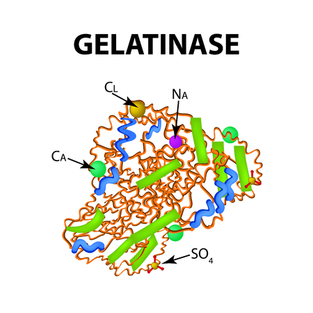 Gelatinase is a molecular chemical formula. Enzyme of the stomach. Infographics. Vector illustration on isolated background.