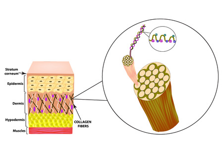 Collagen structure. The structure of the skin. Infographics. Vector illustration on isolated background