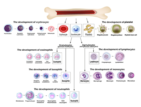 Blood cells Erythrocyte development, red blood cells, leukocytes, eosinophils, lymphocytes, neutrophils, basophils monocytes Platelet formation Infographics Vector illustration Illustration