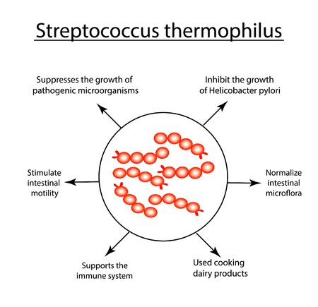 Useful properties Streptococcus thermophilus. Good intestinal microflora. probiotic, prebiotic. Infographics. Vector illustration on isolated background.