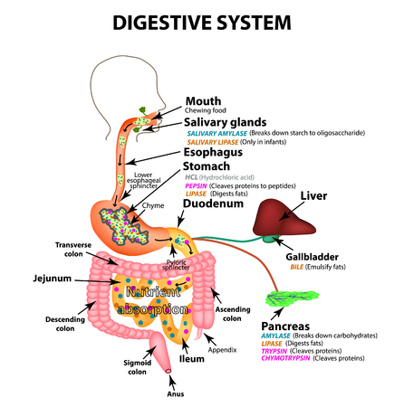 The human digestive system. Anatomical structure. Digestion of carbohydrates, fats and proteins. Enzymes of the gastrointestinal tract, pancreas, liver, gallbladder. Metabolism. Infographics. Vector