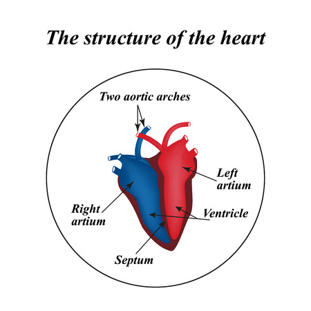 The structure of the heart. Infographics Vector illustration