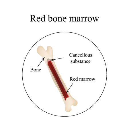 The structure of the bone marrow. Infographics. Vector illustration. Illustration
