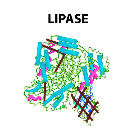 Molecular structural chemical formula Lipase. Enzyme digestive tract lipase. Infographics. Vector illustration on isolated background